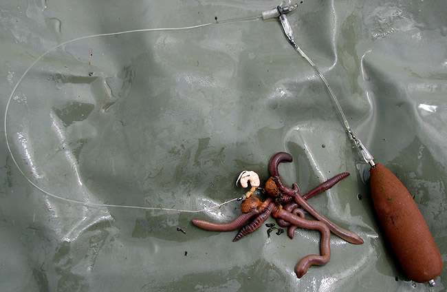 Andrew Kennedy's 'Wormedusa' Wels Catfish rig