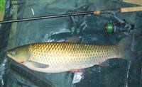 Andrew Kennedy goes Surface Fishing for Carp and lands a personal best Grass Carp